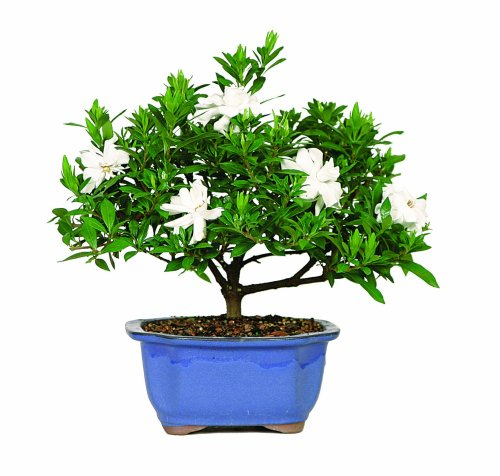 5557890035643 - BRUSSEL'S DT0107G GARDENIA OUTDOOR BONSAI TREE