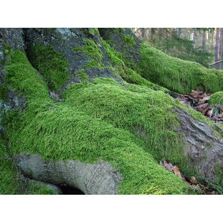 0689331221270 - LAMINATED POSTER NATURE GREEN ROOT MOSS TREE POSTER PRINT 24 X 36