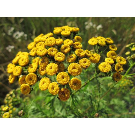 0696264164147 - CANVAS PRINT BITTER BUTTONS TANACETUM VULGARE COMMON TANSY TANSY STRETCHED CANVAS 10 X 14
