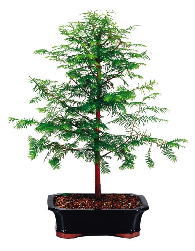 0782819003396 - BRUSSEL'S DAWN REDWOOD BONSAI