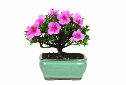 0782819003686 - BRUSSEL'S DT3066AZ SATSUKI AZALEA OUTDOOR BONSAI TREE