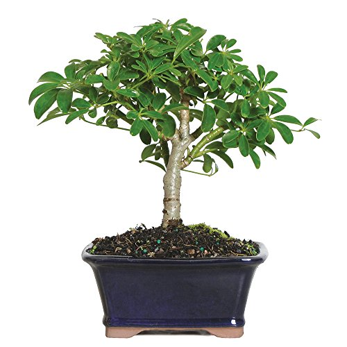 0782819017331 - BRUSSELS LIVE HAWAIIAN UMBRELLA INDOOR BONSAI TREE - 3 YEARS OLD; 5 TO 8 TALL WITH DECORATIVE CONTAINER